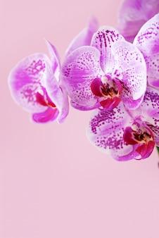 Violet orchid on pink background