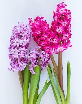 Violet and pink hyacinth flowers