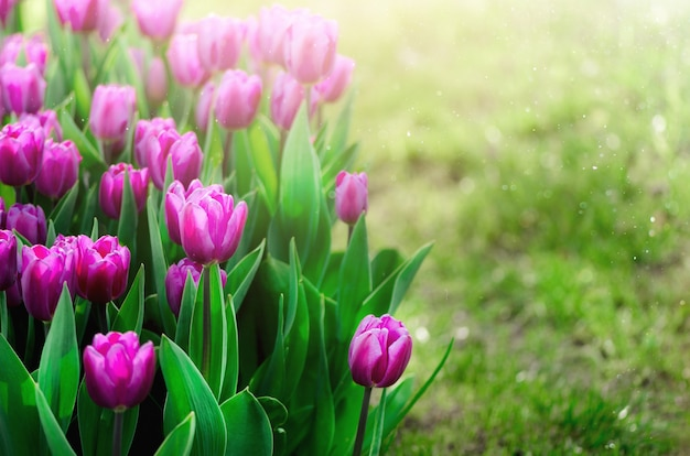 Violet, purple, lilac tulips background. summer and spring concept, copy space.