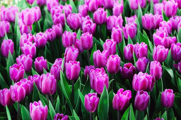 Violet, purple, lilac tulips . summer and spring concept, copy space. tulip flowers field in sunlight. soft selective focus.