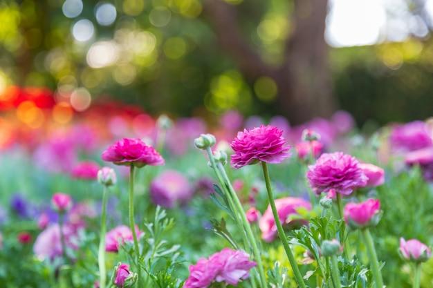 Violet ranunculus in the garden
