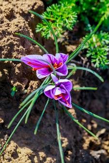 땅에서 자라는 보라색 사프란 꽃.