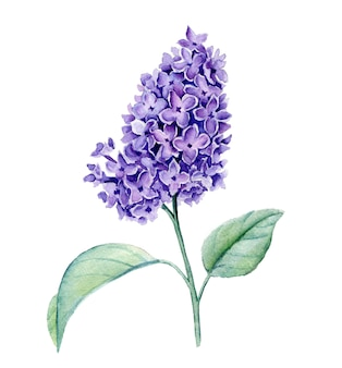 Violet syringa branch watercolor illustration isolated