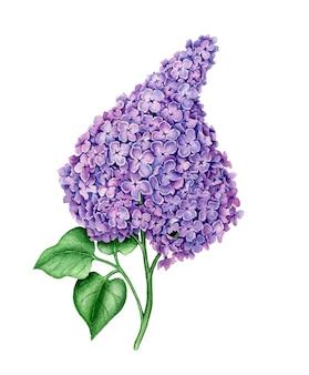 Violet syringa isolated vintage watercolor botanical illustration