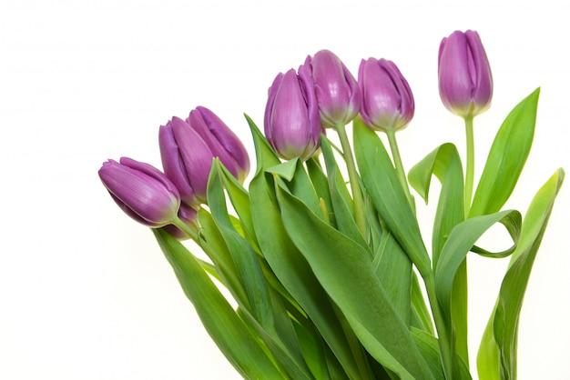 Фиолетовые тюльпаны изолированные праздничный букет