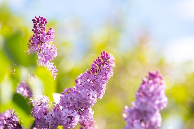 봄 정원에 꽃 봉오리가 있는 바이올렛 활기찬 라일락 덤불.