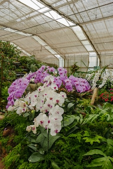 Violet & white orchid in tropical garden in glasshouse daytime for agrotourism