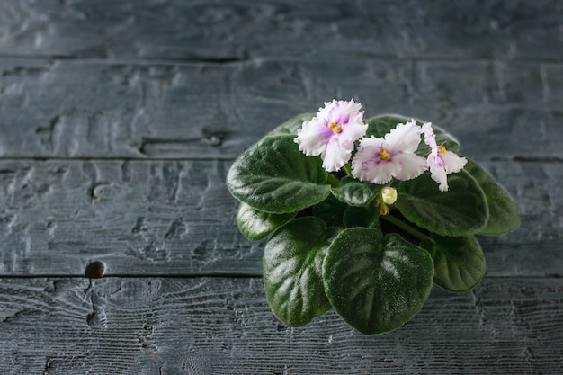 Violet with blooming flowers on a black wooden rustic table.