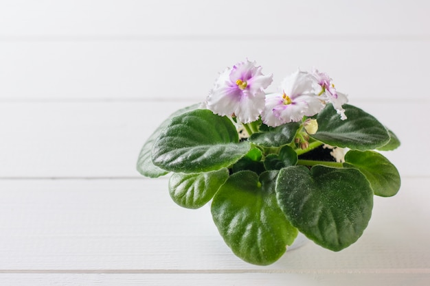 Violet with blooming flowers on a white wooden rustic table