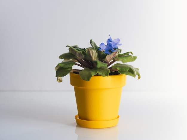 Violet in yellow pot on white table