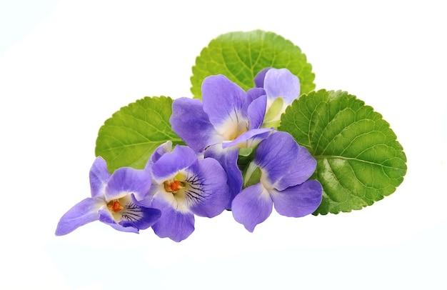 Изолированные цветы фиалки.