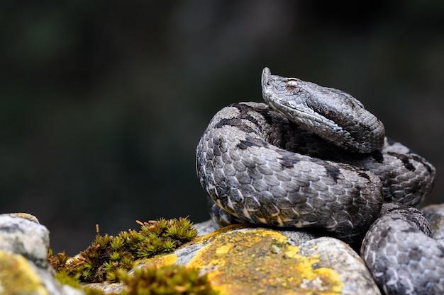 大人の角状の毒蛇(vipera latastei)