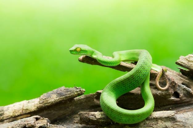 Змея в природе, зеленая или азиатская ядовитая яма, тримерсурус (viperidae)