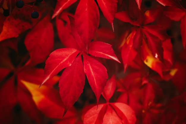 Virginia creeper leaves in autumn colors of red. close up. selective focus