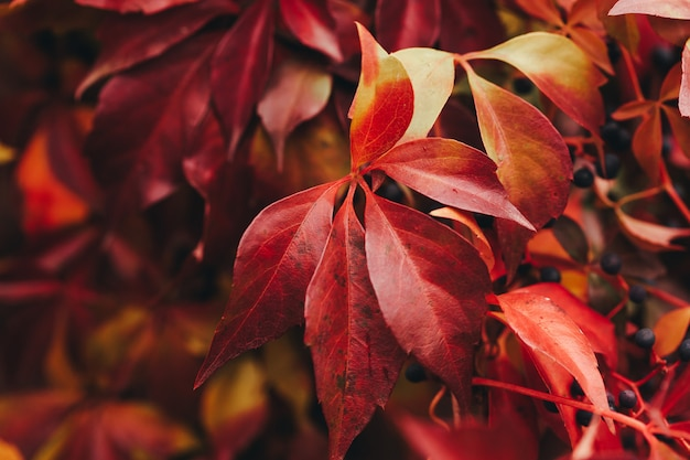 Virginia creeper red leaves close up. selective focus