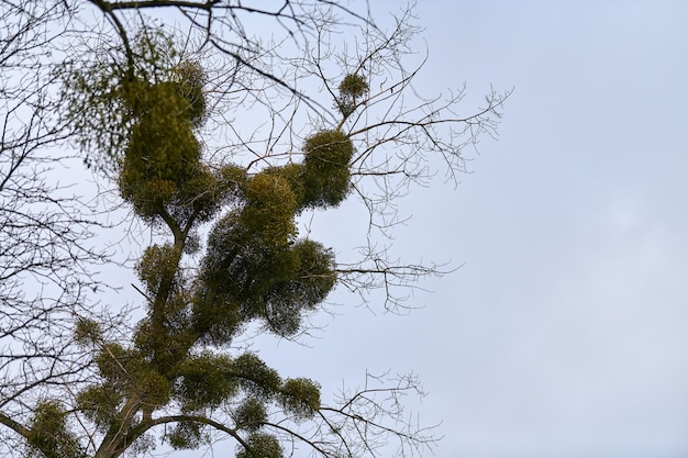 木の枝にヤドリギの低木。都市公園の若い木の半寄生性の属のホスト
