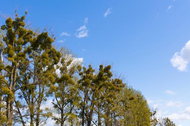 春の青空を背景に木に緑のヤドリギ。ヤドリギの木、viscum