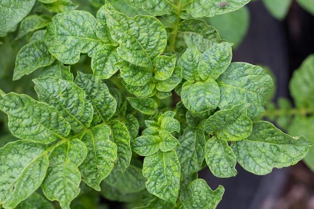 Витста сверху из листьев растения картофель