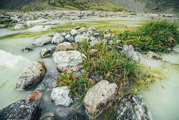 水浸しの山の湖の石の間にイワベンケイの美しいピンクの花と緑の草のある鮮やかな高山の風景。湿った湖の高地の野生の植物相と明るい山の風景。