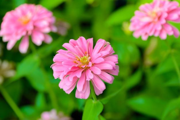 Vivid close up zinnia flower
