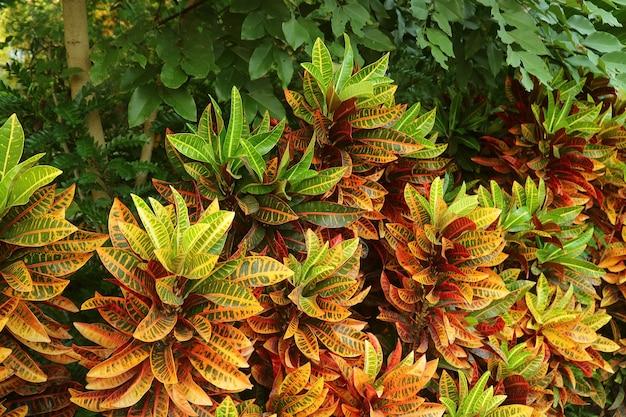 トロピカルガーデンの鮮やかな色のファイヤークロトン植物