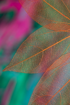 Vivid colored transparent fall leaves