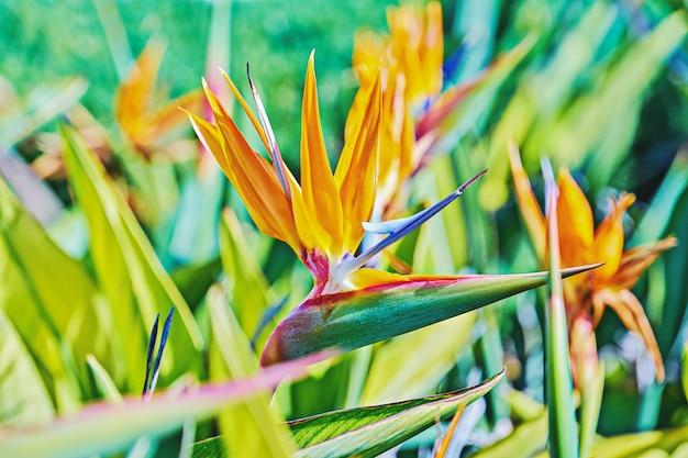 Vivid flower of bird of paradise or strelitzia reginae among leaves