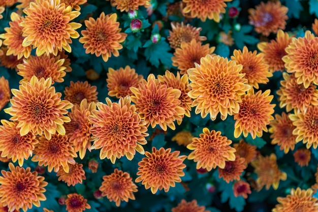 鮮やかでさわやかで明るく甘いカラフルで美しいオレンジ色のダリアの花