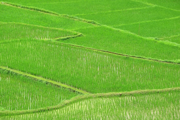 Vivid green paddy field with growing rice plants