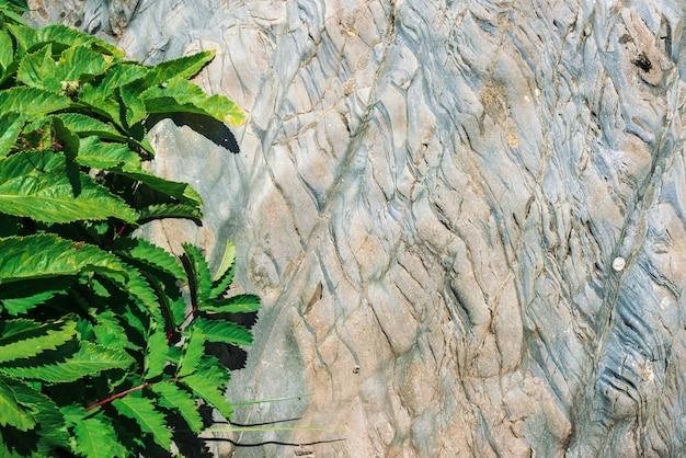 Яркие листья heracleum и sanguisorba officinalis на сланцевых скалах в солнечном свете. детальная текстура поверхности камня горы с богатой растительностью в конце солнечности вверх. солнечный фон. летать на листе.
