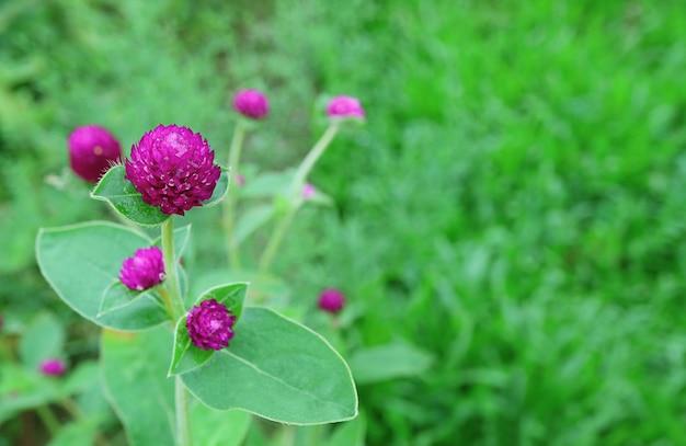 鮮やかな緑の野原に鮮やかなマゼンタのセンニチコウの花