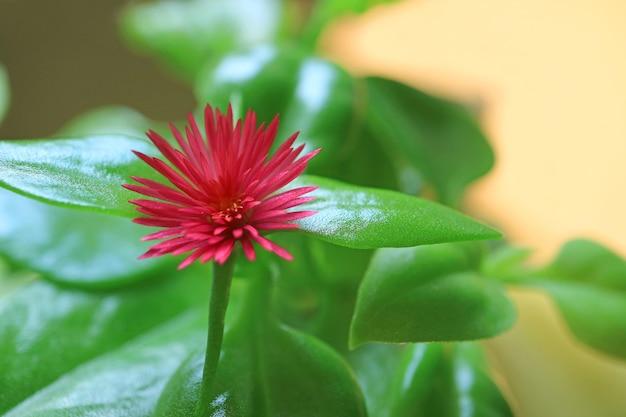 鮮やかな緑の葉の中で鮮やかなピンクの咲く赤ちゃんサンローズフラワー