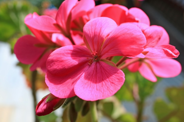 Vivid pink blooming geranium flowers in the morning sunshine