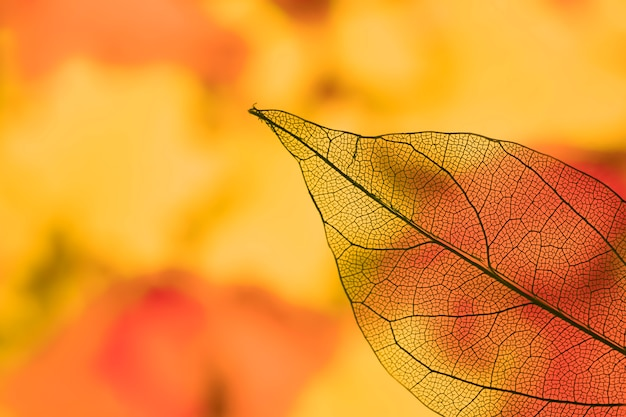 Vivid transparent orange autumn leaf