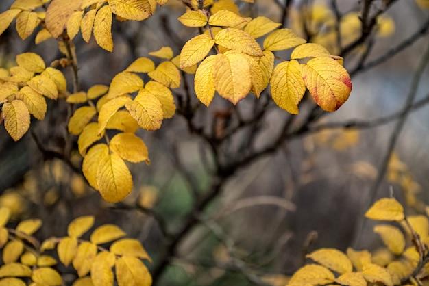 Яркие желтые листья шиповника на осеннем естественном фоне