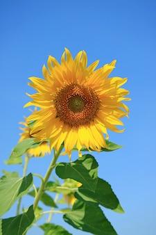Vivid yellow sunflower on vibrant blue sky background