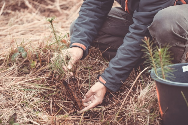 Volunteer planting small seedlings of a coniferous tree, ecology concept
