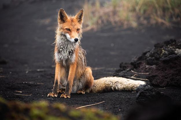 Великолепная дикая красная лисица (vulpes vulpes) охотится за едой, чтобы поесть