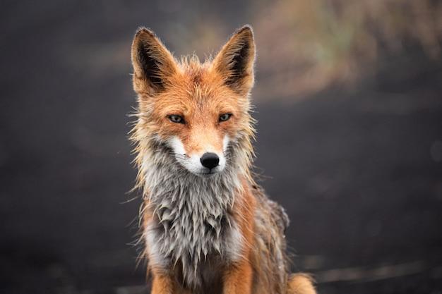 Ред фокс на опушке леса / ред фокс / ред фокс (vulpes vulpes)