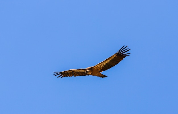 Vulture flying among the blue sky
