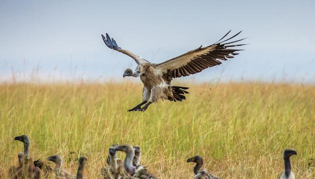 독수리가 땅 근처에 착륙하고 있습니다.