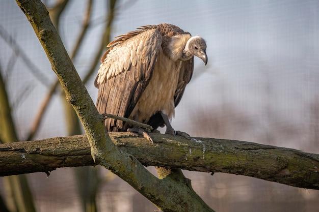Стервятник сидит на ветке дерева