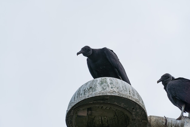 Vulture on top of the light pole. partly cloudy day.