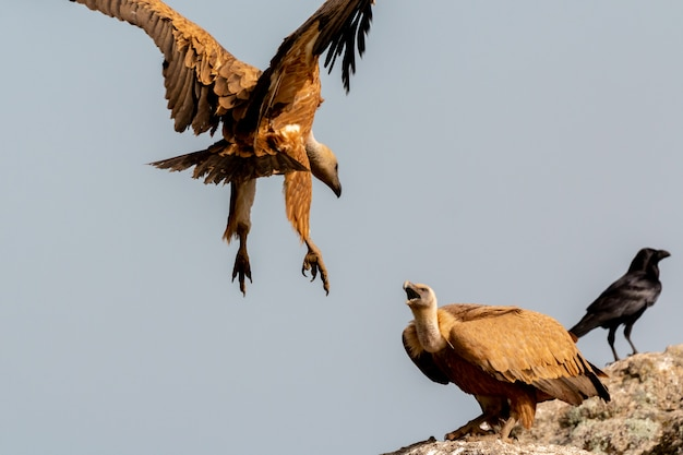 Vultures on a big rock with the cloudy sky