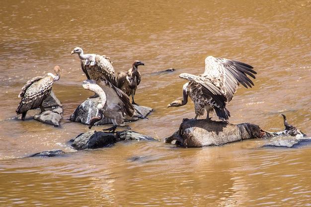 Грифы питаются гну в реке в национальном парке масаи-мара, дикие животные в саванне. кения, африка