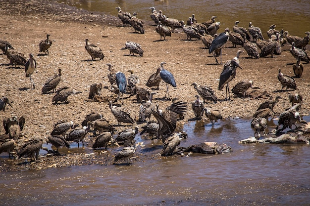 독수리는 masai mara 국립 공원의 강에서 누우를 먹고 사바나의 야생 동물을 먹고 있습니다. 케냐, 아프리카