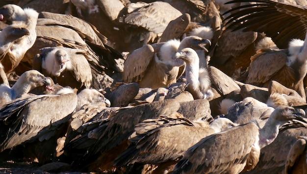 카탈로니아 어 피레네 산맥 스페인의 독수리