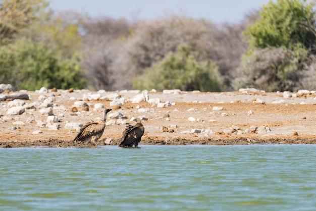 Vultures at waterhole , etosha national park, travel safari in namibia, africa.