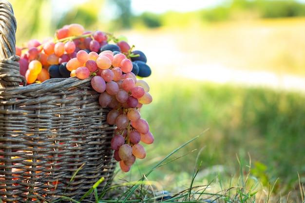 古いwのバスケットからぶら下がっている赤ブドウの房。日没で緑の草に対して果実を収穫します。