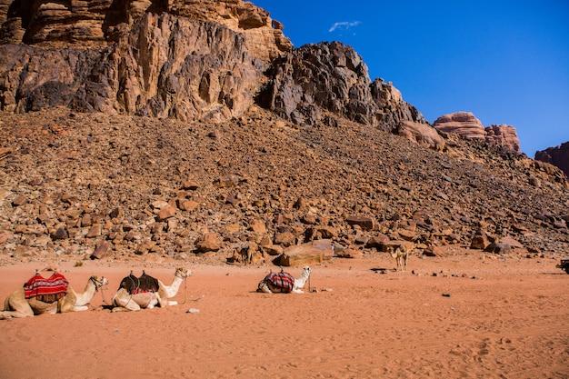 ヨルダンのワディラム砂漠の風景。旅行のコンセプト。ラクダ。